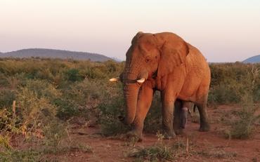slon v národnom parku Madikwa Game Reserve