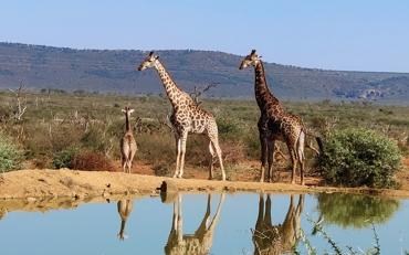 Národný park Madikwa žirafy